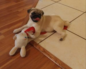 Pug Puppies for sale in North Carolina and South Carolina