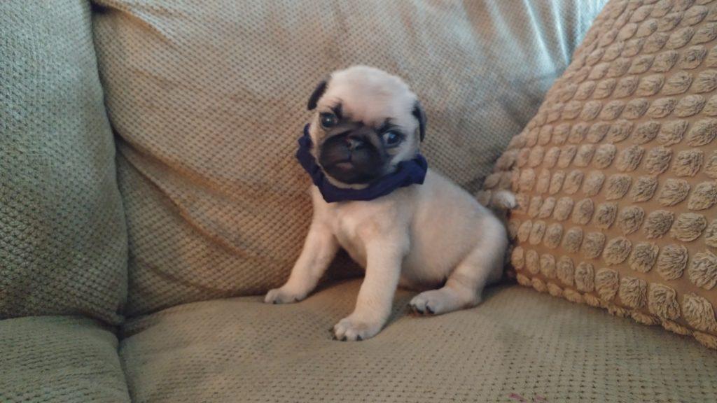 Carolina Pug Puppy
